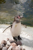 Penguin (Spheniscus humboldti) — Stock Photo