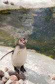 Penguin (Spheniscus humboldti) — Stock Photo