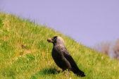 Jackdaw (Corvus monedula) — ストック写真