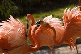 Flamingo (Phoenicopteridae, Phoenicopterus gen.) — Stock fotografie