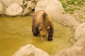 Bear (Ursus arctos) — Stock Photo