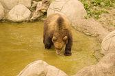 Bear (Ursus arctos) — Стоковое фото