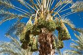 Ripe Dates on Palm Tree — Stock Photo