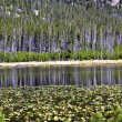 Reflections on lily pond in Yellowstone — ストック写真 #12395830