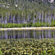 Reflections on lily pond in Yellowstone — 图库照片 #12395830