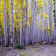Aspens stand tall — Stock Photo