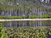 Reflections on lily pond in Yellowstone — Stock Photo