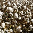 Cotton in the raw — Stock Photo