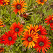 Cluster of orange daisies — Stock Photo