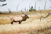 Bull Elk savors the moment — Stock Photo