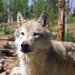 Wolf in Captivity — Stock Photo