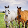 Stock Photo: Two Horses, One Brown, One White