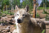 Wolf in Captivity — Stockfoto