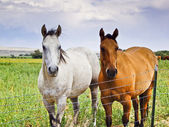 Two Horses, One Brown, One White — Stock Photo
