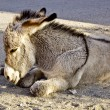 Baby Burros Nap Time — Stock Photo #14041677