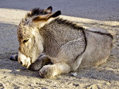 Baby Burros Nap Time — Stock Photo