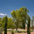 Windswept Weeping Willow — Stock Photo #16213945