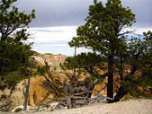 Uprooted tree at Bryce Canyon — Stock Photo