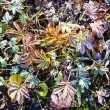 Frosty Autumn Leaves - Stock Photo