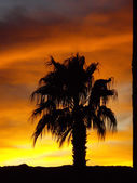 Palm tree on desert sunset — Stock Photo