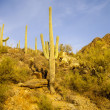 Saguaro in Sunlight — Stock Photo