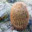 Barrel Cactus — Stock Photo