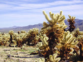 Mojave desert cholla cacti — Stock Photo