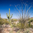Saguaro Landscape — Stock Photo