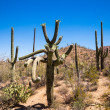 Stock Photo: Twisted Saguaro