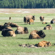 Newborn Bison in Yellowstone — Foto de Stock