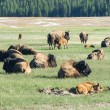 Foto Stock: Newborn Bison in Yellowstone