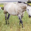 Stock Photo: White dappled pony