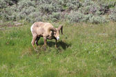 Bighorn in Yellowstone — Foto de Stock