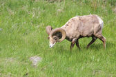Lone Bighorn Sheep — Stock Photo