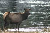 Female Elk — Stockfoto