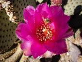 Bee on Pink Cacti flower — Stock Photo