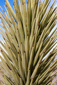 Yucca Leaves — Stock Photo