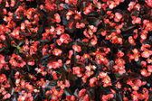 Red begonia — Foto de Stock