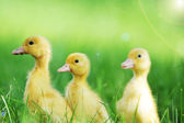 Three fluffy chicks — Stock Photo