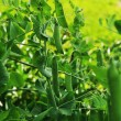 Pods peas — Stockfoto