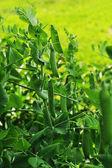 ポッドのエンドウ豆 — ストック写真