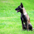 Stock Photo: Belgimalinois