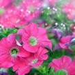 Petunia flower - Stock Photo