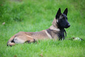 Belgian malinois — Stock Photo