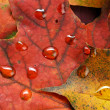 Wet leaves  of maple - 
