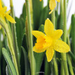 Yellow daffodils — Stock Photo #13903302