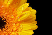 Yellow gerbera — Stock Photo