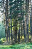 Tallskogen — Stockfoto