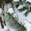 Branches of winter spruce tree — Stock Photo #19162591