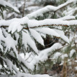 Branches of winter spruce tree — Stock Photo #19162595